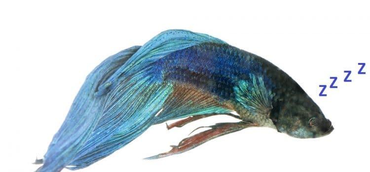 How Do Betta Fish Sleep?