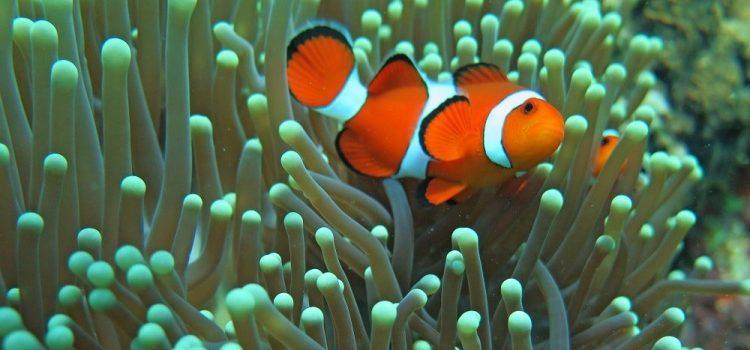 The Odd Way Clownfish Sleep ~ It's Weird