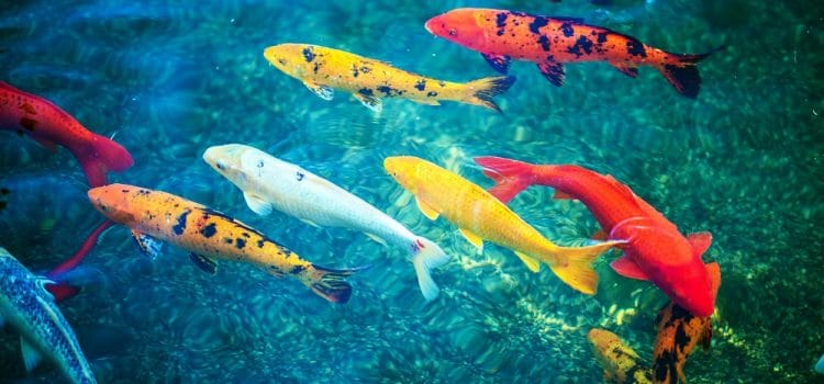 How Long Do Koi Fish Live?