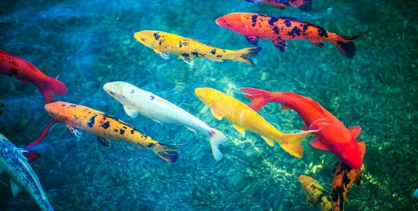 How Long Do Koi Fish Live
