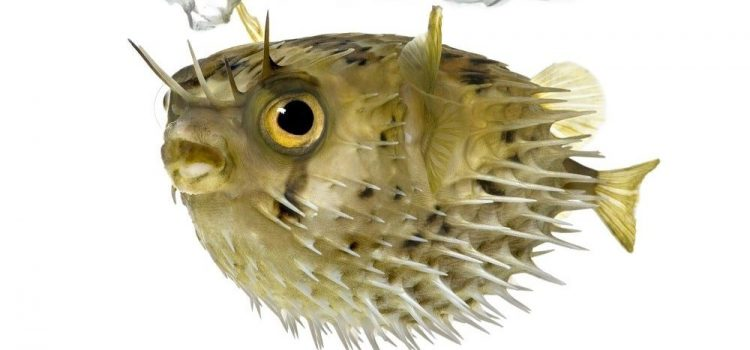 How Many People Die From Eating Puffer Fish?