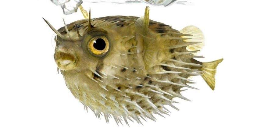 How Many People Die From Eating Puffer Fish