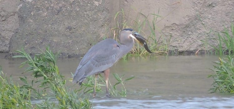 How To Keep Blue Heron From Eating Pond Fish?