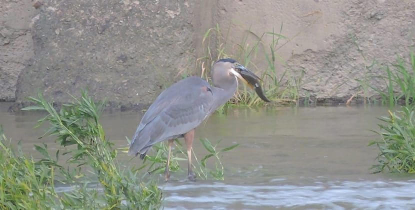 How To Keep Blue Heron From Eating Pond Fish