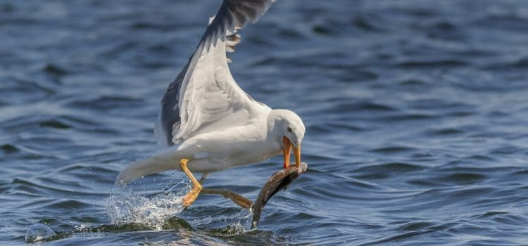 How To Stop Seagulls Eating Pond Fish?