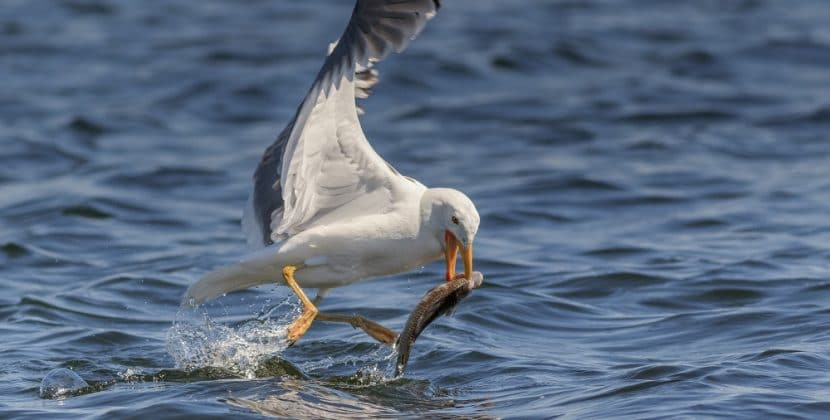 How To Stop Seagulls Eating Pond Fish
