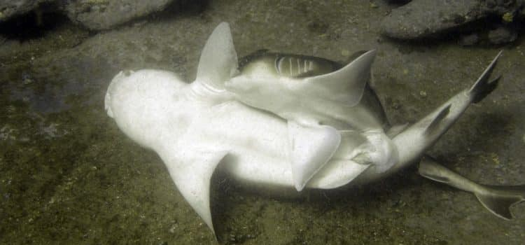 How Do Shark Mating Habits Work?