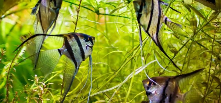 How Long Do Angelfish Live?