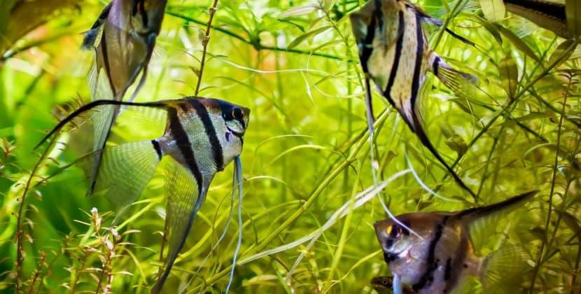 How Long Do Angelfish Live