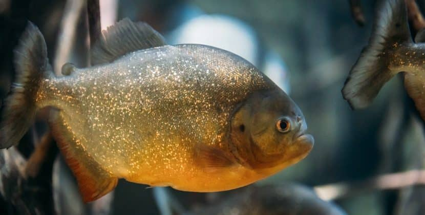 How Much Is A Piranha Fish