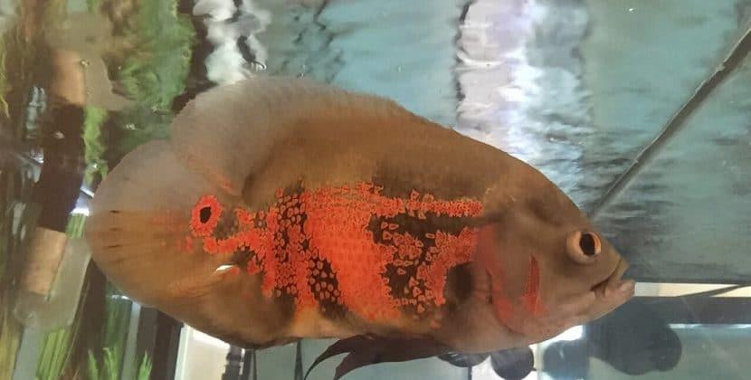 How To Increase Breeding Of Oscar Fish In Aquarium