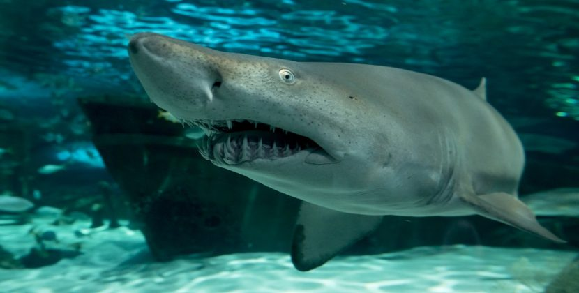 What Are The Feeding Habits Of The Sand Tiger Shark