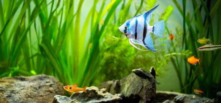 What Do Angelfish Eat?