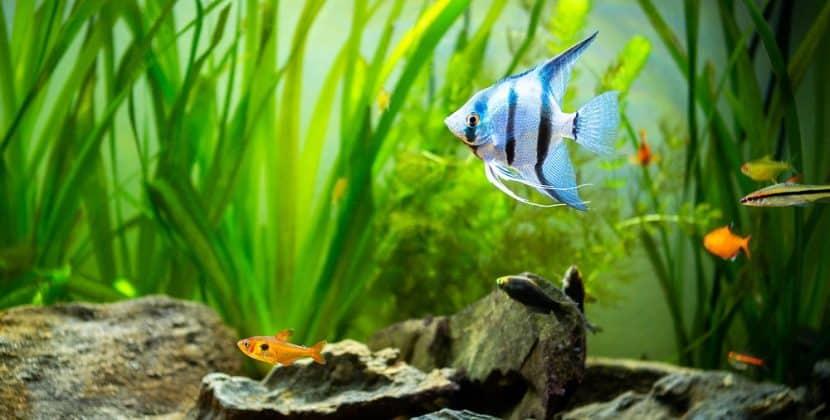 What Do Angelfish Eat