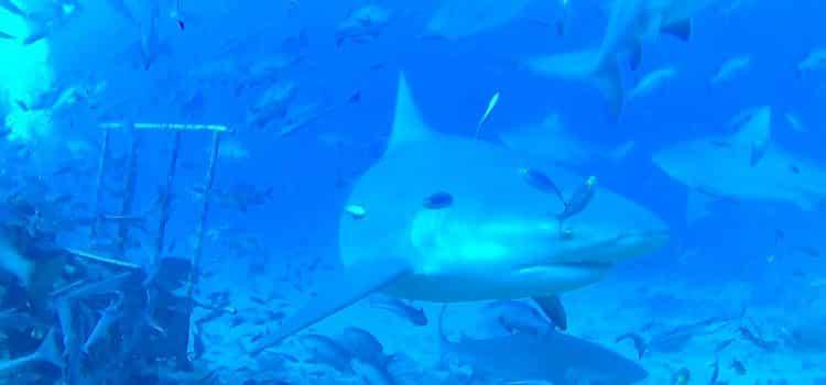 Feeding Habits Of A Bull Shark