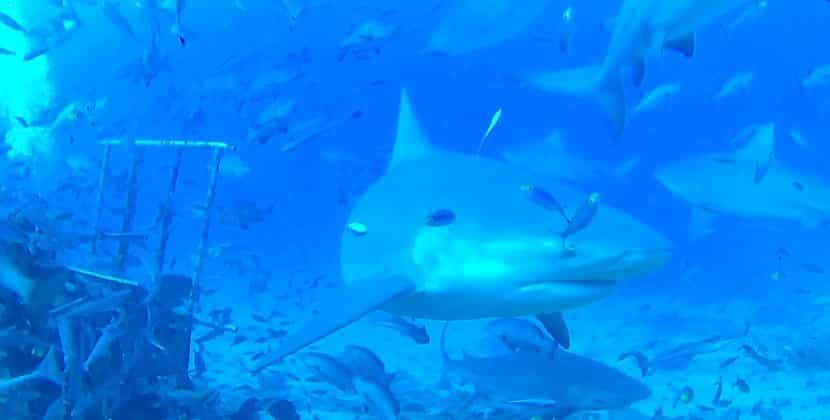 What Feeding Habits Does A Bull Shark Have