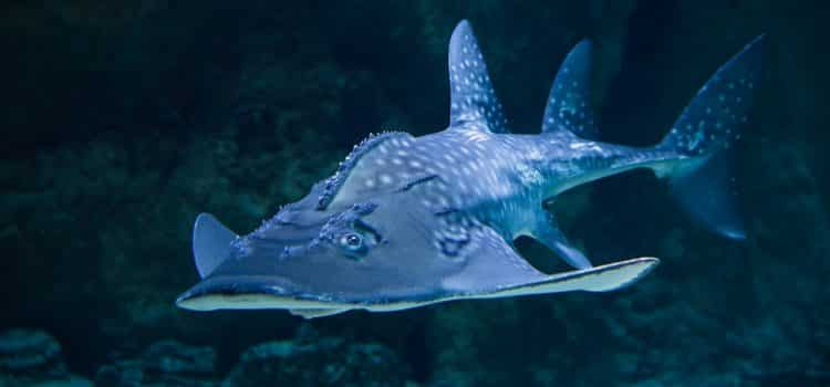 What Is An Angel Sharks Diet And Eating Habits?