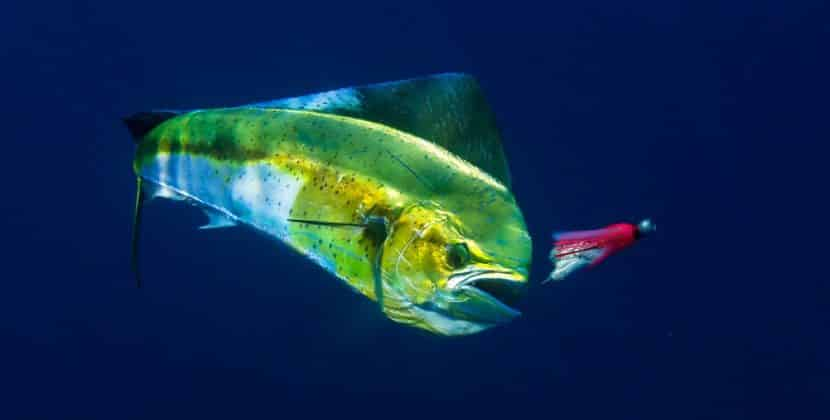 What Type Of Fish Is Mahi-mahi?