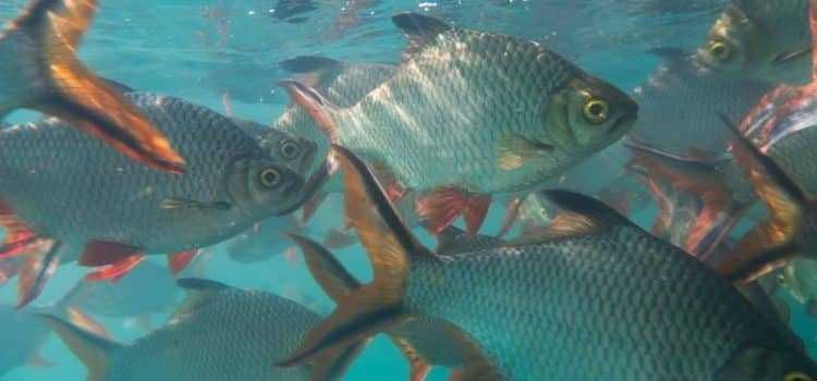 What Type Of Fish Is Tilapia?