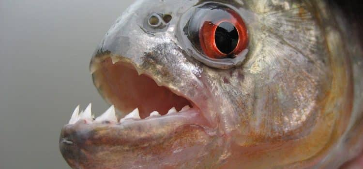 Where Can I Buy A Piranha Fish?