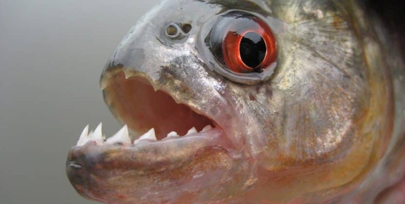 Where Can I Buy A Piranha Fish