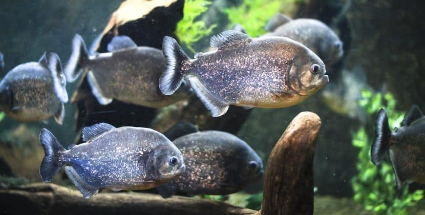 Where Do Piranhas Live