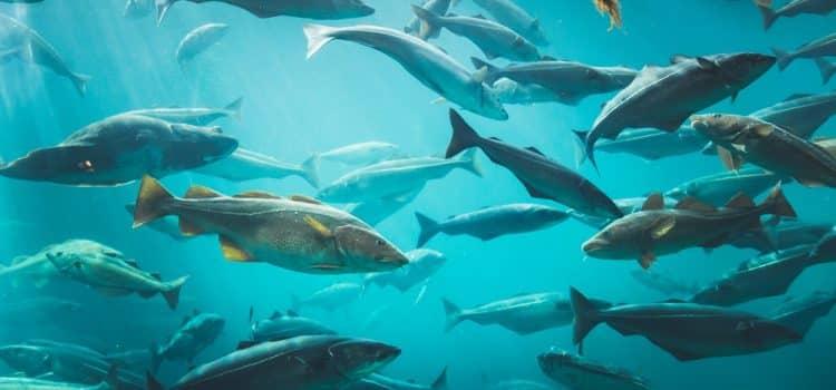 How Big Will Aquarium Fish Get In Their Natural Environment?