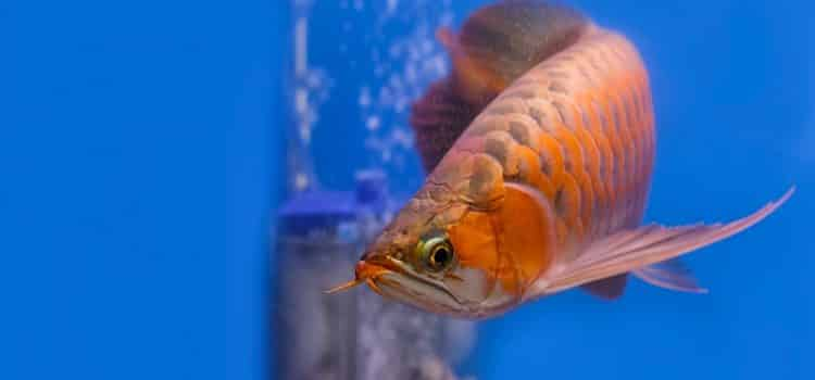 How Much Is An Arowana Fish In The Philippines?