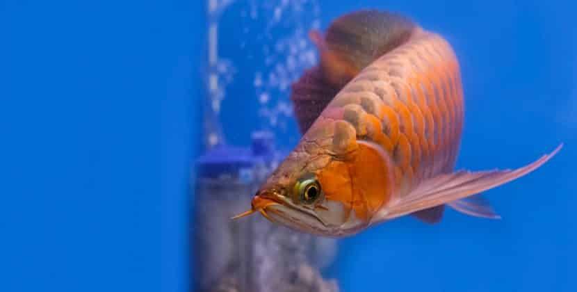 how much is an Arowana fish in the Philippines