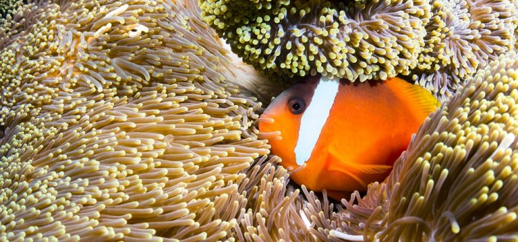 How Do Clownfish Adapt To Their Environment?