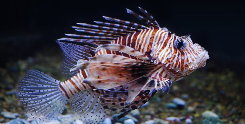 What Eats LionFish In Africa
