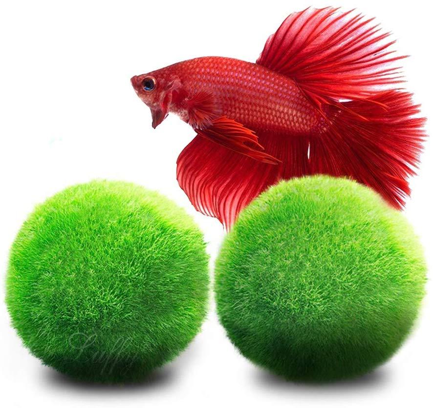 Where Do Betta Fish Live In Their Natural Environment?