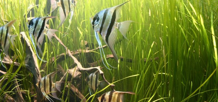 Angelfish Tank Mates