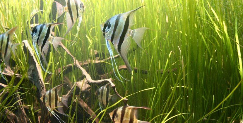 Angelfish Tank Mates