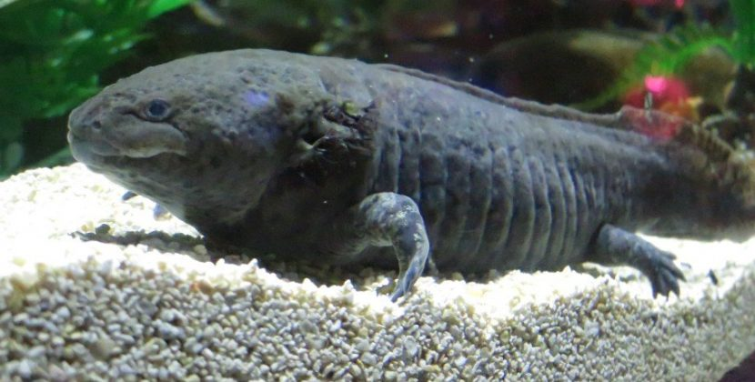 Are Axolotls Good Pets