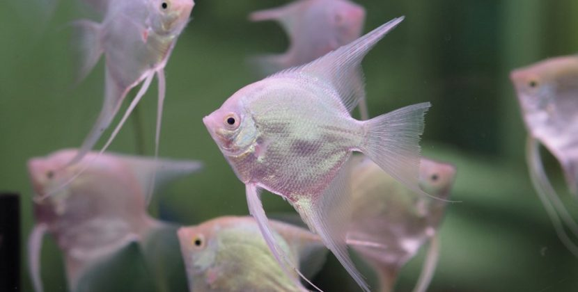 Do Angelfish Change Color?
