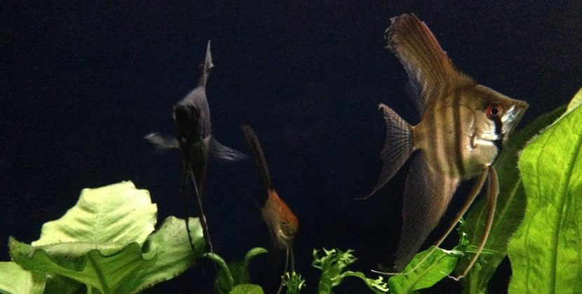 Do Angelfish Fins Grow Back