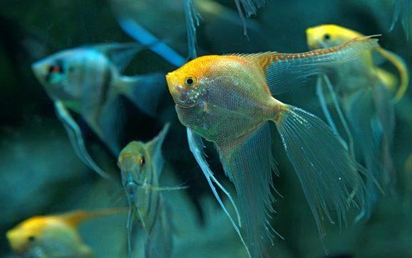 Angelfish STRANGE Sleeping Habits & MORE