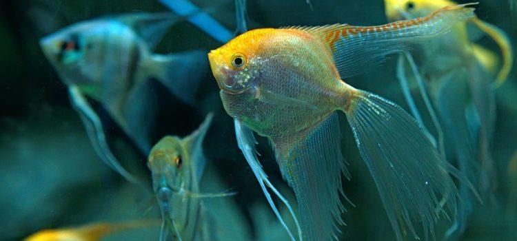 Do Angelfish Sleep?