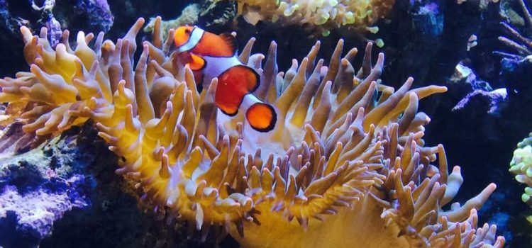 Do Clownfish Eat Seaweed?