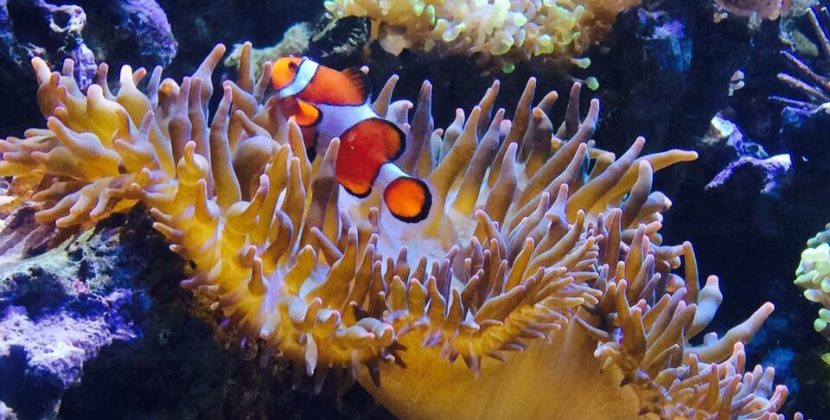 Do Clownfish Eat Seaweed