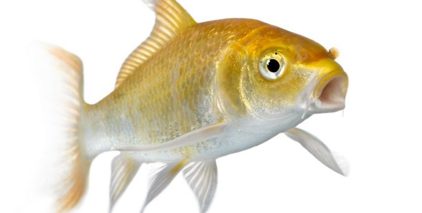 Do Fish Like Music?