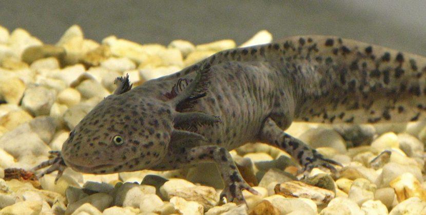 How Much Is An Axolotl