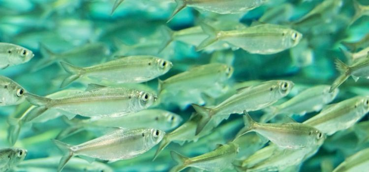 Where Is The Smallest Fish Found In The Philippines?