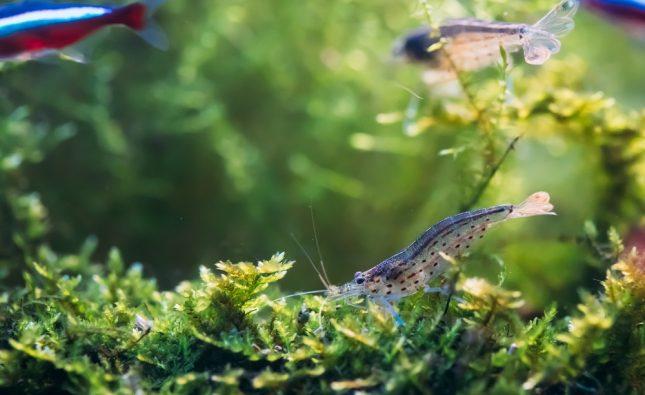 Will Angelfish Eat Shrimp