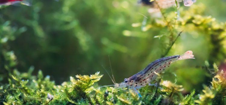 Will Angelfish Eat Shrimp?