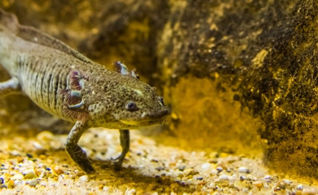 Can Axolotls Live With Fish?