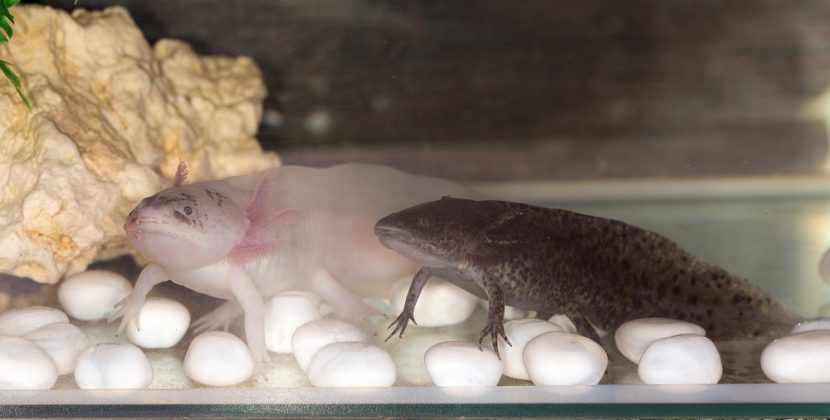 Should Axolotls Be Kept In Pairs?