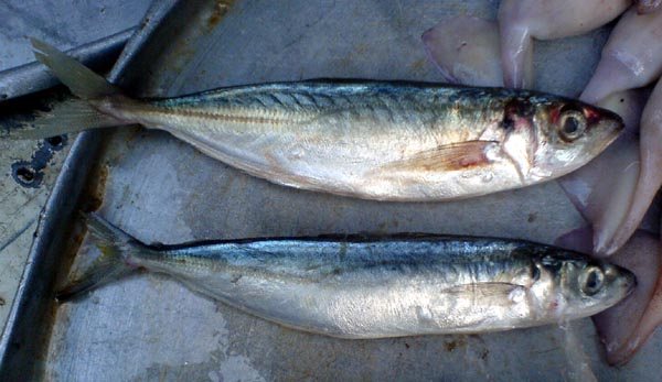 What Are The Different Kinds of Fish In The Philippines