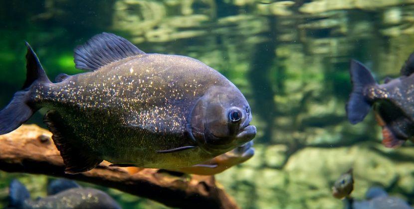 Do Fish Eat Humans?